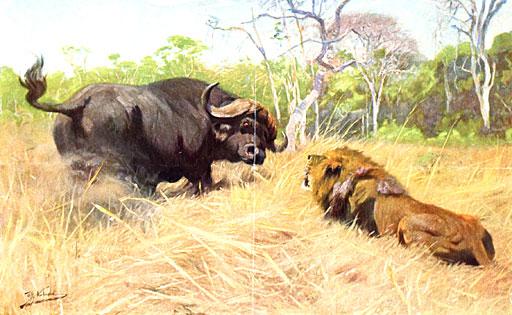 buffalo englisch